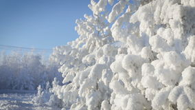 Close up of snow covered pine tree with snow. Falling stock video footage