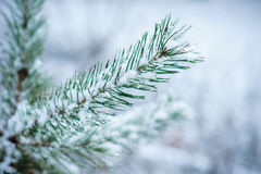 Close-up of snow-covered pine twig Stock Images