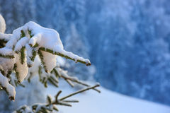 Close up of a snow covered spruce branch Royalty Free Stock Photo