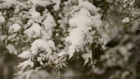 Close-up of snow-covered tree branch in the forest. Close-up of the snow on the branch of a fir tree stock video footage