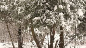 Close-up of snow-covered tree branch in the forest. Close-up of the snow on the branch of a fir tree stock video