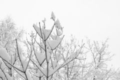 Close-up snow-covered tree branches and white sky as winter background. royalty free stock image
