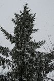 Close-up of snow-covered trees and branches on the background of a blizzard and blizzard with a soft rear angle. royalty free stock photography