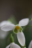 Close up of snow drop flower. Snow drop close up in Ireland stock images