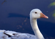 Close-up of the Snow goose Stock Image