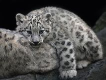 Close up snow leopard cub resting on mother Royalty Free Stock Photos
