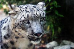 Close up of a snow leopard Royalty Free Stock Images