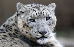 Close-up of a Snow leopard Stock Image