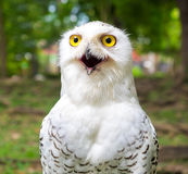 Close up on snow owl in the outdoor park Stock Photos