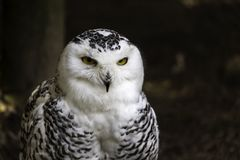 Close up of a snow owl sitting in the zoo royalty free stock images