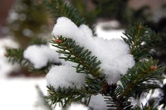 Close up of snow on a pine tree royalty free stock photography