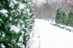 Christmas winter holiday greeting card. Close up of snow on tree. Christmas winter background. Thuja tree green branch covered with snow in winter park alley royalty free stock photography