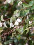 Close up of Snowberry symphoricarpos albus on branch uk Royalty Free Stock Images