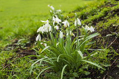 Close up of snowdrop plants Royalty Free Stock Photography