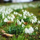 Close-up of snowdrops in beginning of spring Stock Image