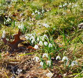 Snowdrops flowers Stock Photography