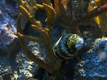 Close up of a snowflake moray eel in a large aquarium stock images