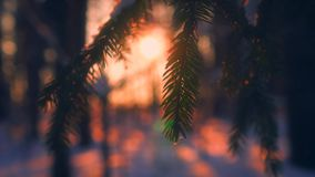 Close-up snowflakes falling on fir tree branches surrounded by sunlight at sunset. Beautiful winter nature forest woods covered by fluffy snow in background stock video