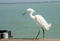 Close up a Snowy Egret as he waits on a fishing pier. stock photo