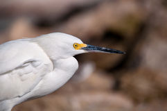 Close-up of a Snowy Egret (Egretta thula) Royalty Free Stock Image