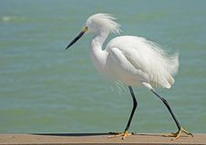 Close up a Snowy Egret pesters fishermen on a pier. stock photos