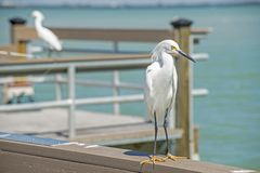 Close up a Snowy Egret pesters fishermen on a pier. stock images