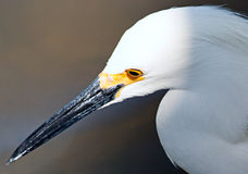 Close-up of Snowy Egret Stock Images
