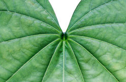 Close up of snowy orchid leaf Stock Image