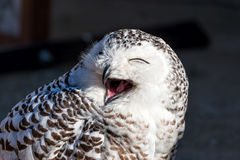 Close up of snowy owl. (Bubo scandiacus Royalty Free Stock Photography