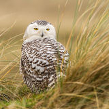 Close-up Snowy owl. In the dunes of vlieland Royalty Free Stock Images