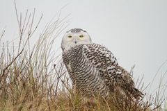 Close-up Snowy owl. In the dunes of vlieland Stock Photos