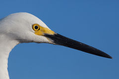 Close up of snowy white egret head with yellow breeding markings Royalty Free Stock Photos