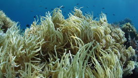 Close Up of Soft Coral Waving in Current. A soft coral colony waves in the current as it grows on a reef in Komodo National Park, Indonesia stock footage