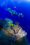 Close up of soft corals with two scuba divers swimming in background Stock Image