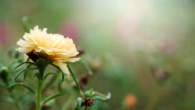 Close up and soft focus of yellow Rosemoss flower in green garden background Stock Photos