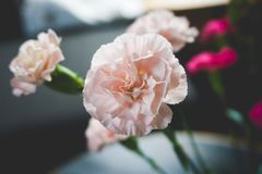 Close-up of a soft pink carnation royalty free stock image