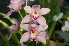Close up of a soft pink orchid cymbidium. Stock Photography