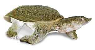 Close up of soft-shell turtle Royalty Free Stock Images