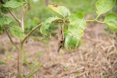 Solanum xanthocarpum on green plants. Close up Solanum xanthocarpum on green plants Royalty Free Stock Images