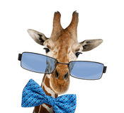 Close up of a Somali Giraffe wearing sunglasses. Close up of a Somali Giraffe, commonly known as Reticulated Giraffe, Giraffa camelopardalis reticulata Red-eyed Royalty Free Stock Image