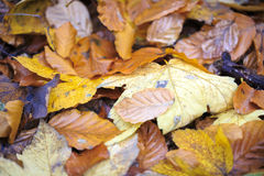 Close up of some autumn leaves Stock Images