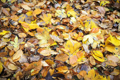 Close up of some autumn leaves Stock Photo