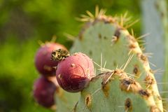 Barbary figs. Close-up on some barbary figs - also called cactus pear. Photo taken in Tuscany, Italy Royalty Free Stock Photography