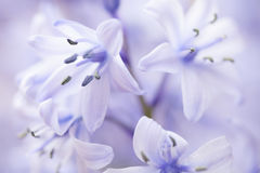 Close up of some a Bluebell. With other bluebells out of focus in the background Stock Photos