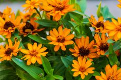 Close up of some brightly colored daisies. A close up of some brightly colored daisies Royalty Free Stock Photography