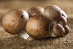 Close up of some edible brown mushrooms. Close up of some fresh edible brown mushrooms on canvas royalty free stock images