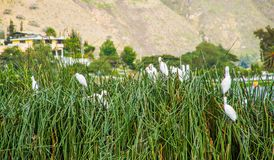 Close up of some herons standing over a totoras, typical plants in the beautiful Yahuarcocha lake, with the mountain. Behind in Ecuador Stock Photo