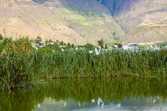 Close up of some herons standing over a totoras, typical plants in the beautiful Yahuarcocha lake, with the mountain. Behind in Ecuador Stock Images