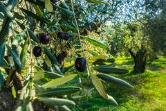 Close up of some olives in an olive tree. Ancient olive trees in an olive grove in Delphi in Greece stock images