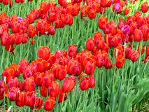 Close up on some orange-red tulips. In spring Royalty Free Stock Image